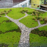 delosperma green roof